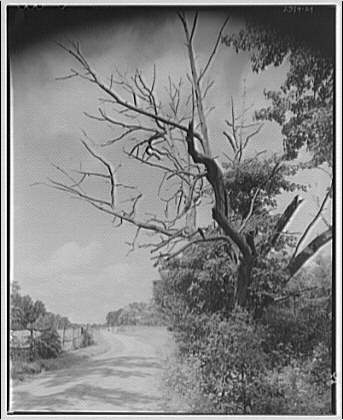 Stratford Hall. Roadway with dead tree in foreground