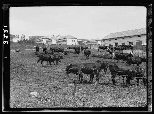 "The Keren Hayesod. Agricultural Colonies on Plain of Esdraelon ""The Emek."" Ein Harod, cattle & dairy barns"