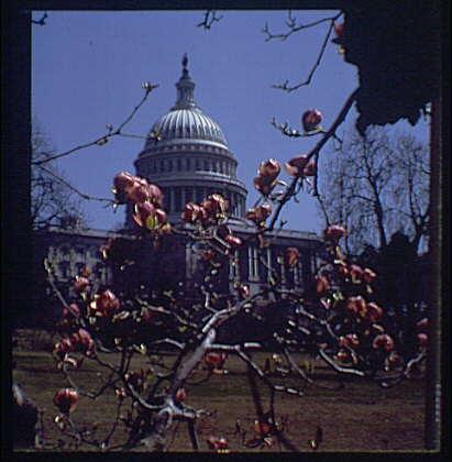 U.S. Capitol exteriors. U.S. Capitol through tulip magnolia, partial mask