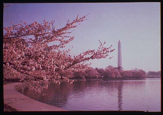 Washington Monument. Views of Washington Monument, cherry blossoms and Tidal Basin V