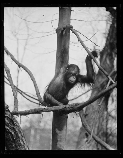[Zoo? ape]