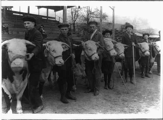 Boys judging prize heifers at 4 H Club Fair at Charleston, W. Va.  Location: Charleston, West Virginia / Photo by Lewis W. Hine.