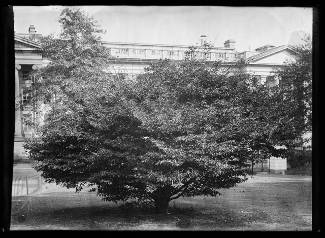 Fern leaf beech tree planted Memorial Day in honor of Washington, February 22, 1904, by Mrs. Roosevelt near the walk leading to the entrance of the White House