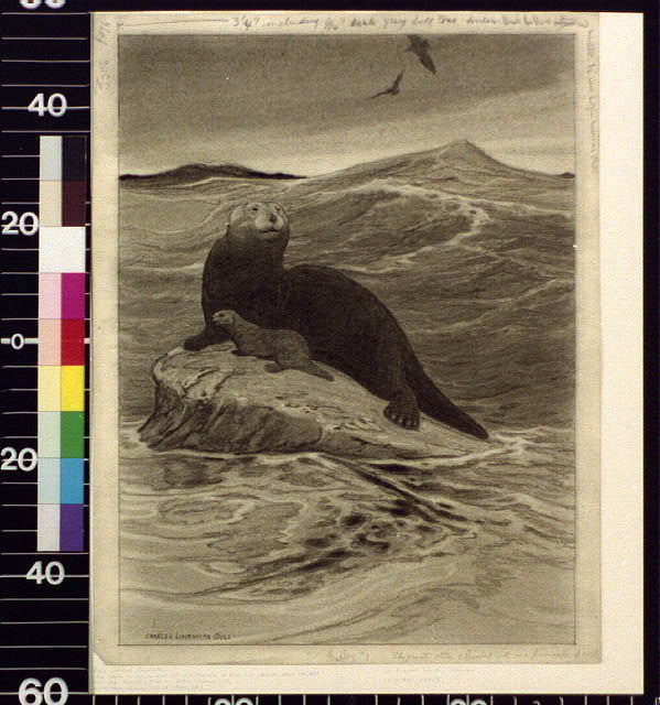 The great otter climbed out on a pinnacle of rock just showing above the kelp