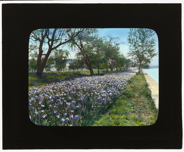 [West Potomac Park, Washington, D.C. Irises along the embankment]