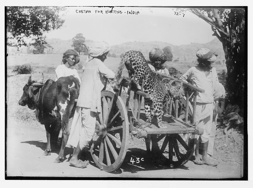 Chetah [i.e. cheetah] used for hunting, India