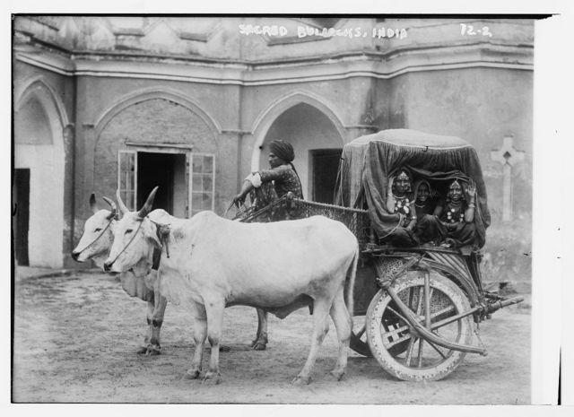 Sacred bullocks [before cart of Nautch girls], India