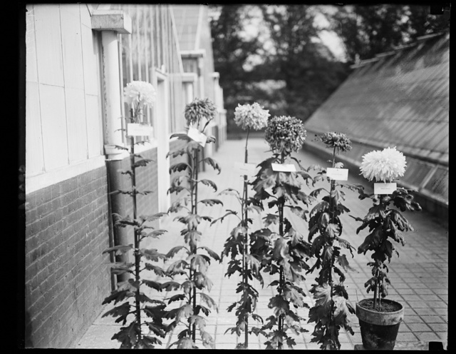 Chrysanthemums at the Annual Dept. of Agric. Show, Wash., that have been named after celebrities. Lft. to rt.: Grace Coolidge, Gen. Pershing, Princess Nayako, Secy. Meredith, Admiral Beatty
