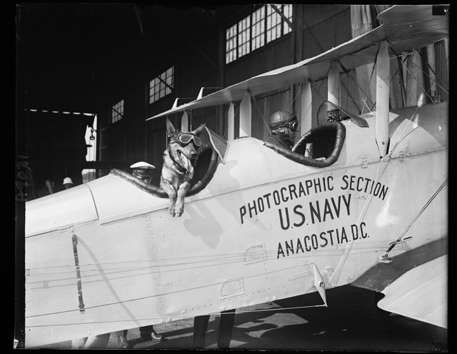 """""""Wolf,"""" the prize winning German police dog at the Naval Air Station in Wash., to fly with Lt. R.D. Lyon"""