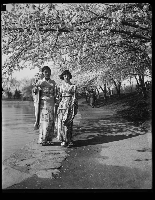 [Women wearing kimonos under cherry blossoms]