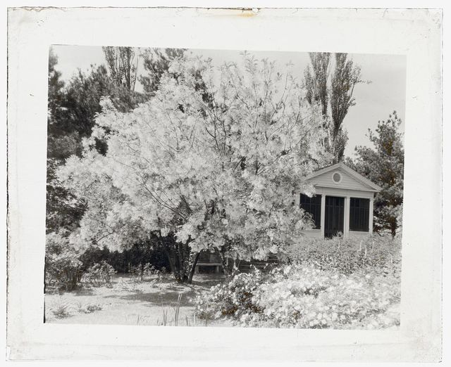 "[""Belvoir,"" Fairfax Harrison house, Star Route 709, The Plains, Fauquier County, Virginia. Fringe tree and porch]"