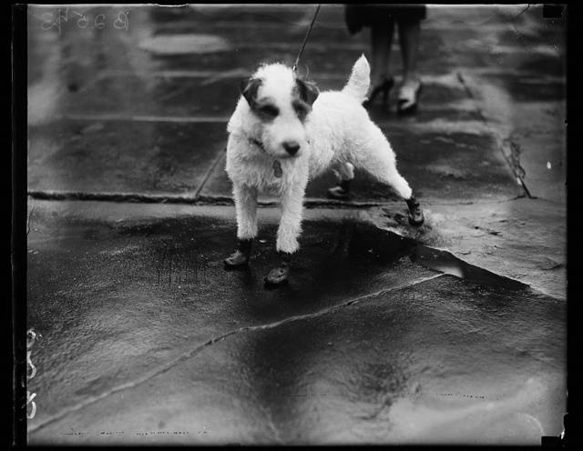 """Flapper goloshes"" for the Pup, Peter Pan, wire-haired terrier pet of the personal Secretary to President Coolidge and Mrs. Edward T. Clark, arrived at the White House today attired in ""flapper goloshes"""