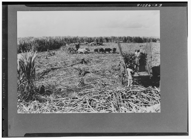 Central Romana, Dominican Republic. Harvesting sugarcane
