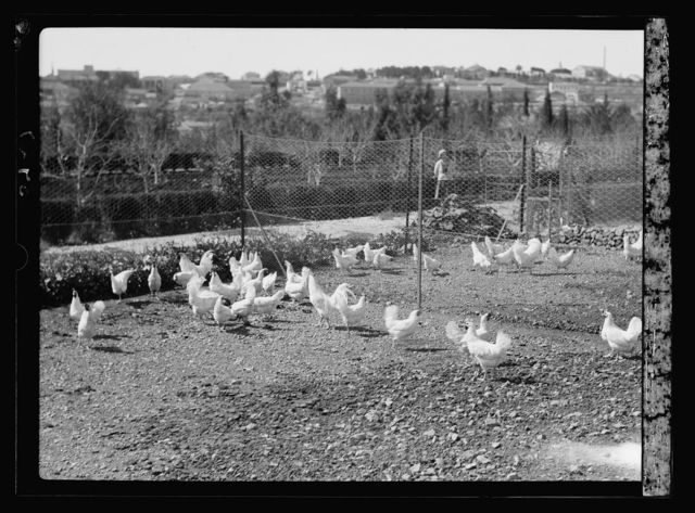 Agriculture, etc. Government poultry yards showing some white leghorn chickens
