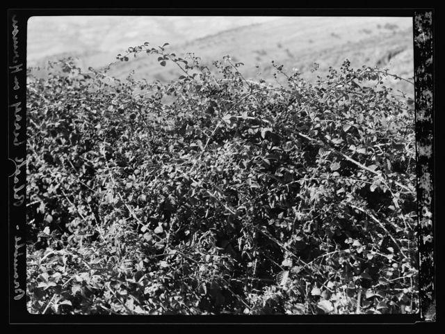 Agriculture, etc. The bramble bush. Rubus Scantus