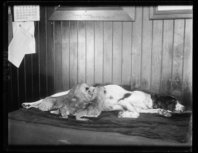 Believe it or not, Mr. Ripley. One might say that this setter dog is being lionized. Three lion cubs, deserted by their real mother at the Washington Zoo, were adopted by the setter and the triplets are doing very well, thank you. 12/18/30