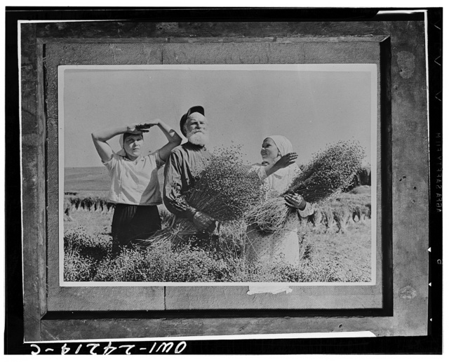 Flax-pickers during the harvest on a collective in the Mari autonomous republic,  USSR (Union of Soviet Socialist Republics)