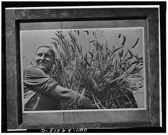 Krasnodar (vicinity), USSR (Union of Soviet Socialist Republics). Woman collective farmer with newly harvested wheat