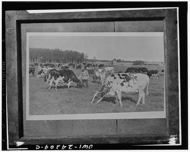 Leningrad (vicinity) USSR (Union of Soviet Socialist Republics). Pedigreed cattle on a collective farm