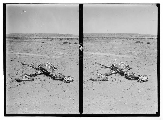 Locust plagues in Palestine. Methods of fighting the locust plague. The skeleton of a camel. A desert casualty eaten by locusts