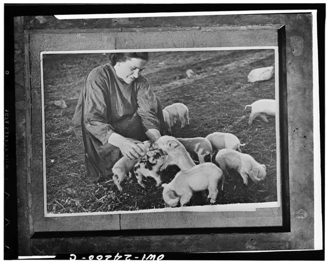 Millerovo, North Caucasus, USSR (Union of Soviet Socialist Republics). Woman farmer feeding piglets on a collective farm
