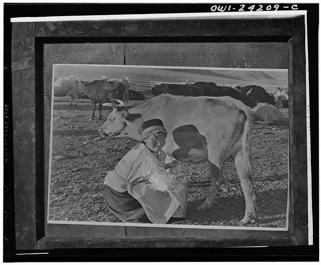 Oiratia, Eastern Siberia, USSR (Union of Soviet Socialist Republics). Milkmaid with cattle