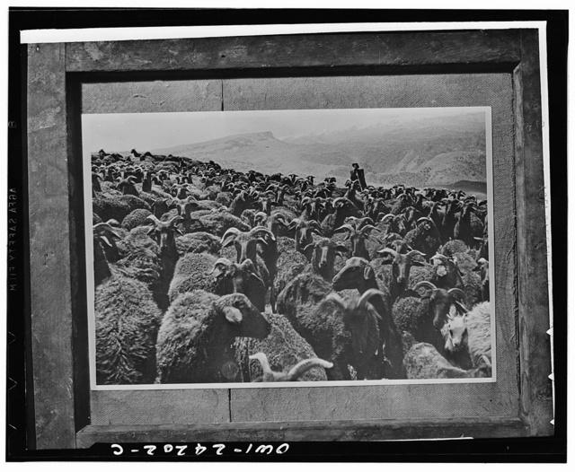 Shepherd with flock in a mountain pasture in the Georgian republic, USSR (Union of Soviet Socialist Republics)