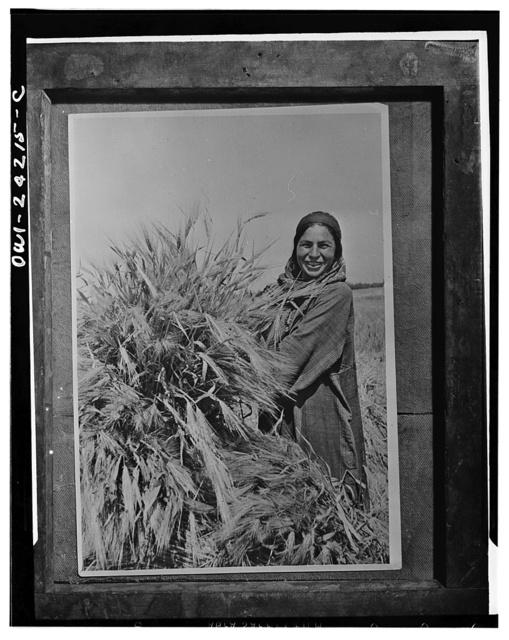 Stakhanovite woman farmer sheafing winter barley in Turkmenistan in the USSR (Union of Soviet Socialist Republics)