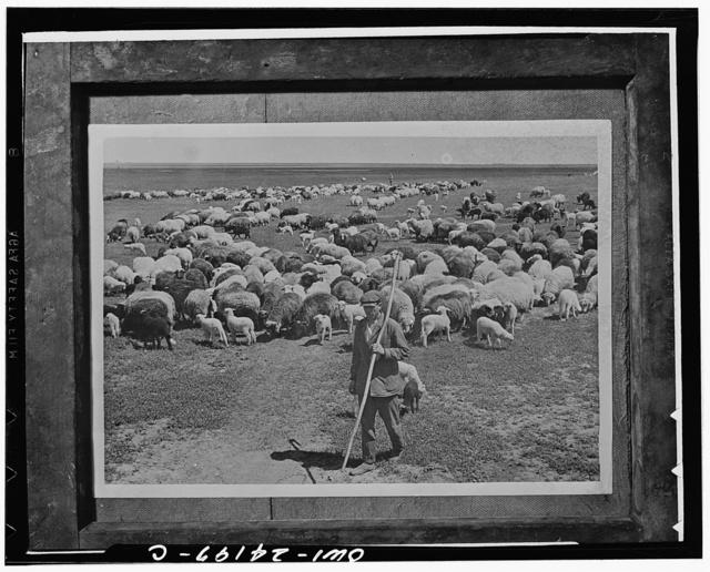 Stalingrad (vicinity), USSR (Union of Soviet Socialist Republics). Flock of sheep on a collective farm