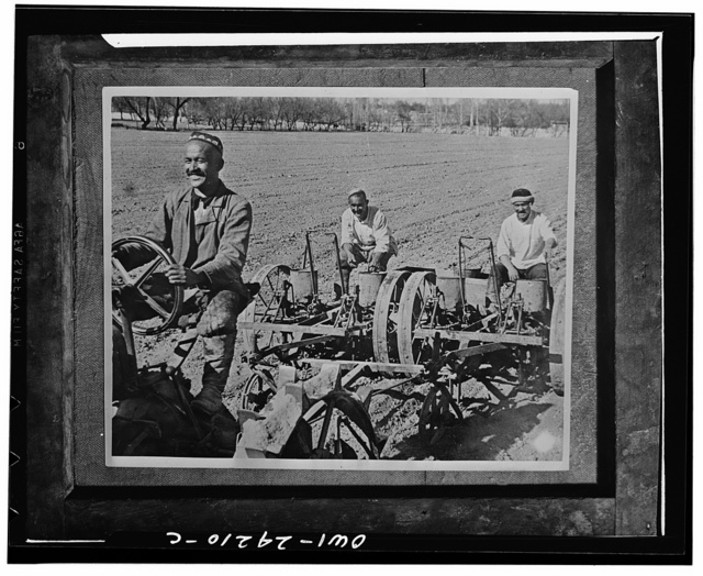 Tashkent (vicinity), Uzbekistan, USSR (Union of Soviet Socialist Republics). Planting cotton. Navai collective farm