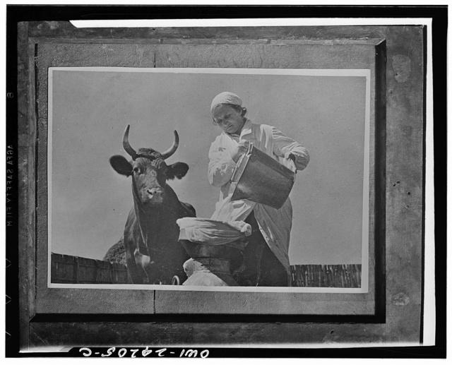 Wife of farmer Grigorenko straining milk on the dairy farm in the USSR (Union of Soviet Socialist Republics)