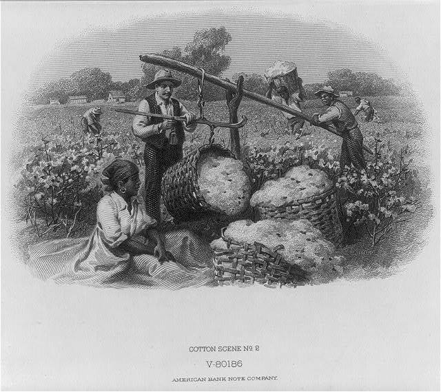 [Scenes in cotton field - White man weighing cotton picked by Blacks]