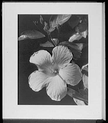 Close ups. Yellow hibiscus