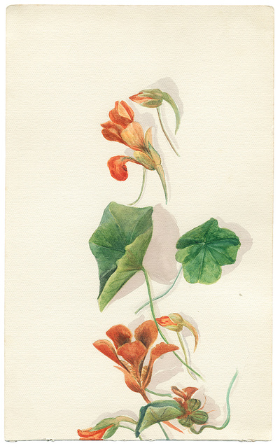 [Watercolor drawing of nasturtium flowers and leaves from the Holy Land area (Israel and Palestine)]