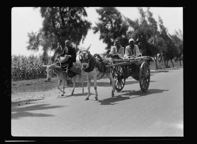 Agriculture in Egypt. Peasants of Egypt showing typical donkeys and two-wheeled carts