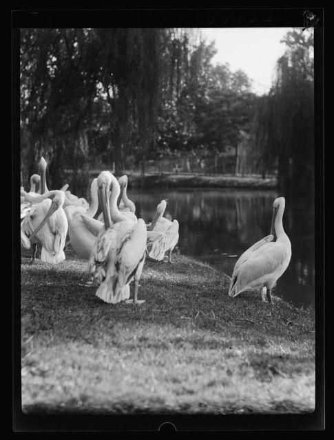 Cairo Zoo. Pellicans [i.e., pelicans] & giraffes