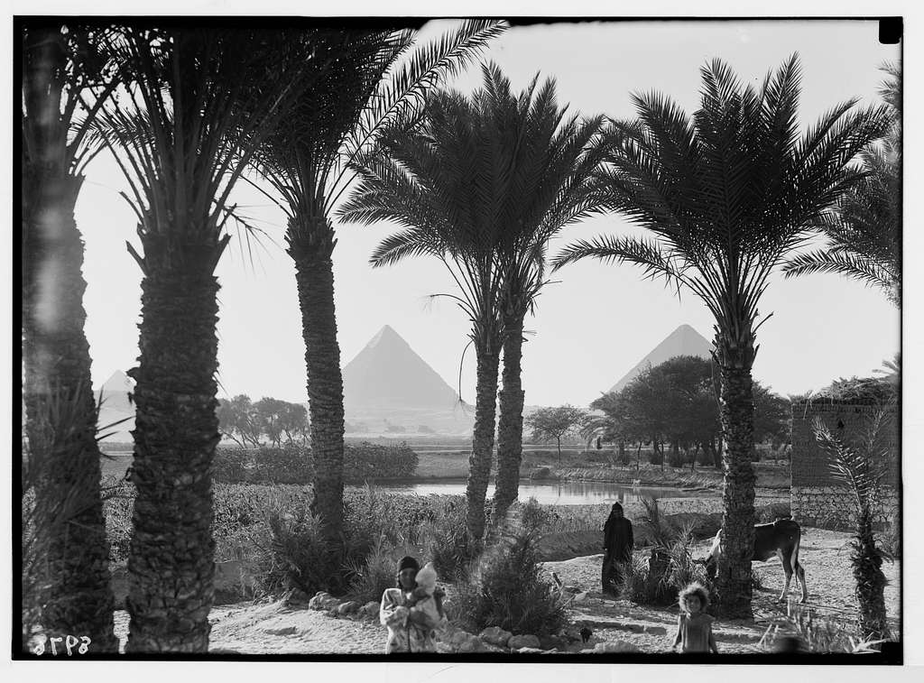 Egypt. Types & agriculture. Corn fields & palmgrove (pyramids seen through palms)
