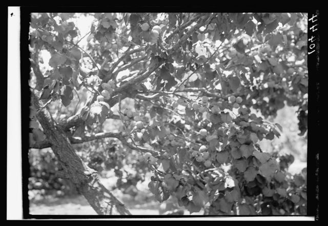 Fig tree, sycamore tree, close up