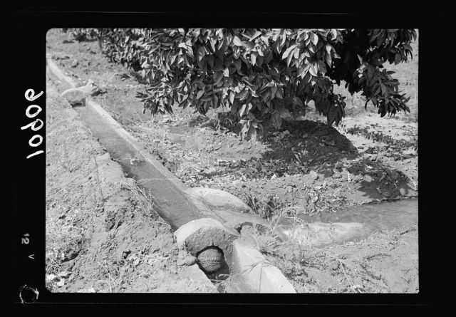 Orange culture at Richon-le-Zion. Concrete water canals for irrigating