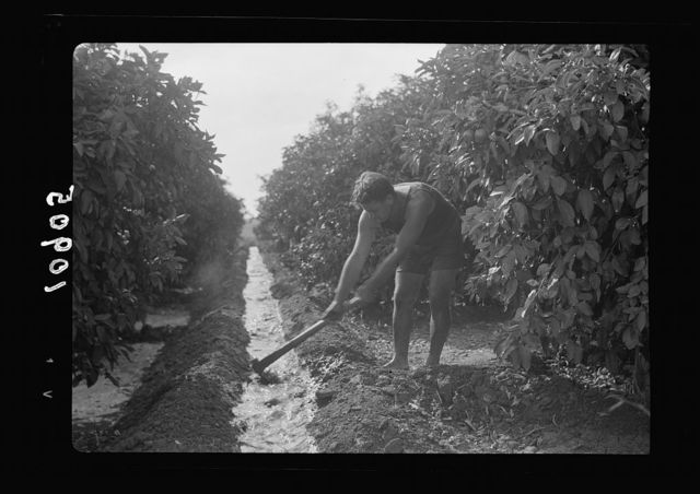 Orange culture at Richon-le-Zion. Irrigating in orange orchard