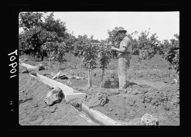 Orange culture at Richon-le-Zion. Pruning grafted orange trees (onto lemon trunks or bitter oranges)