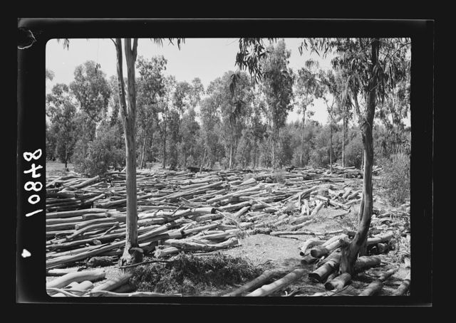 Saw mill in the eucalyptus woods of Khadera. Masses of tree trunks being seasoned before being sawn into boards