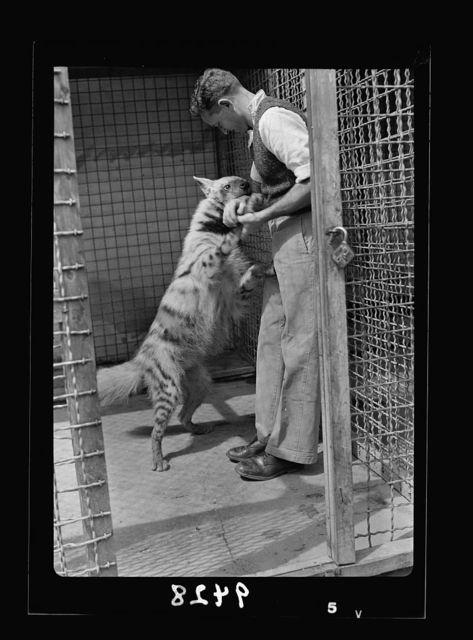 Tel Aviv Zoo. Hyena playing with keeper