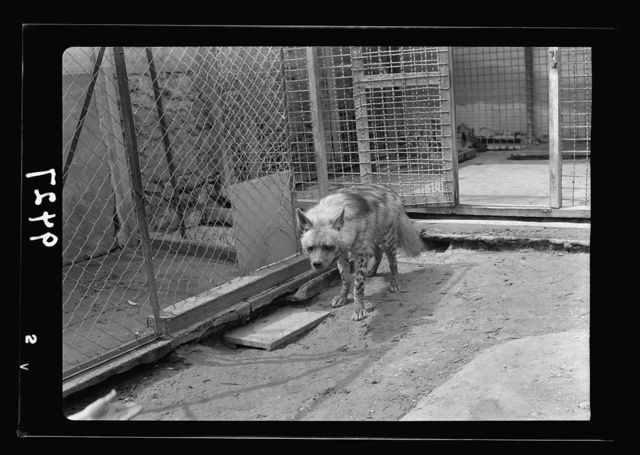 Tel Aviv Zoo. Hyena (Tamed, each day takes a walk in courtyard of institution)