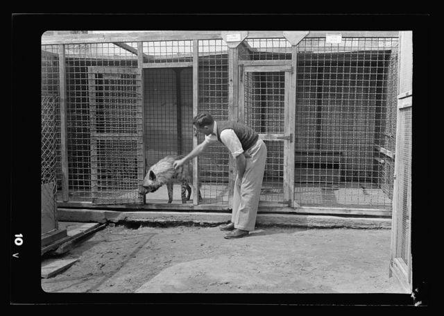 Tel Aviv Zoo. [Man with hyena]