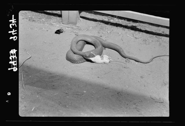 Tel Aviv Zoo. Snake begins to devour the rat. The prey is generally swallowed head first