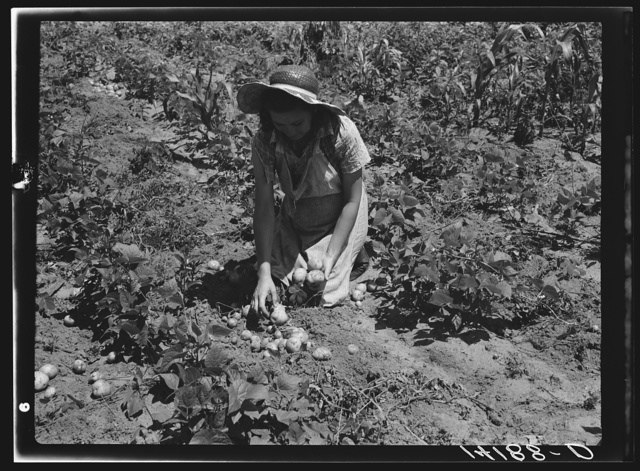 All varieties of tubers were preserved by the Labor Rehabilitation families. Here a young wife is picking up potatoes for storage for winter. Southeast Missouri