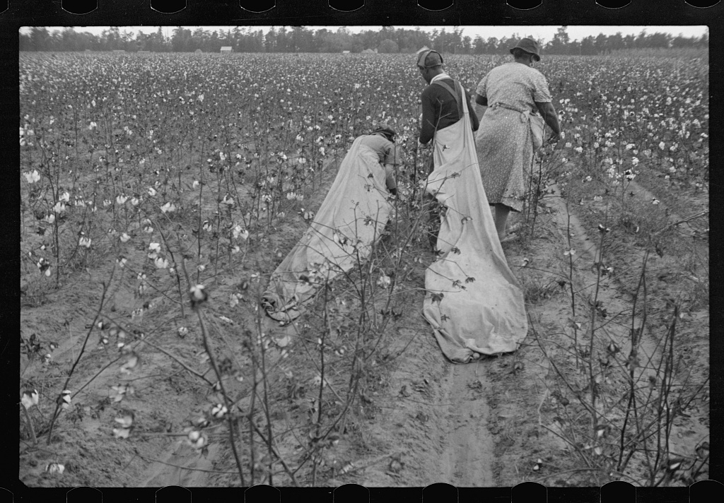 Cotton picking, Pulaski County, Arkansas