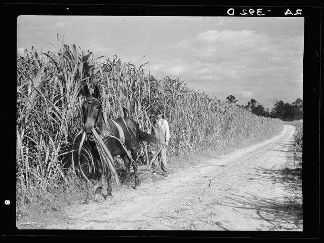 Cultivating sugarcane. Grady County, Georgia