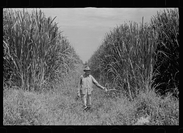 Experimental sugarcane (POJ) which has been imported by the Department of Agriculture because of its resistance to the mosaic disease, Plaquemines Parish, Louisiana